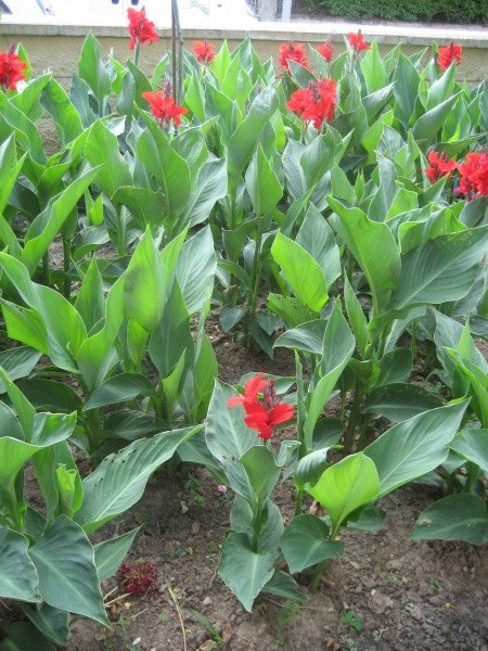 Les cannas rouges d alfred